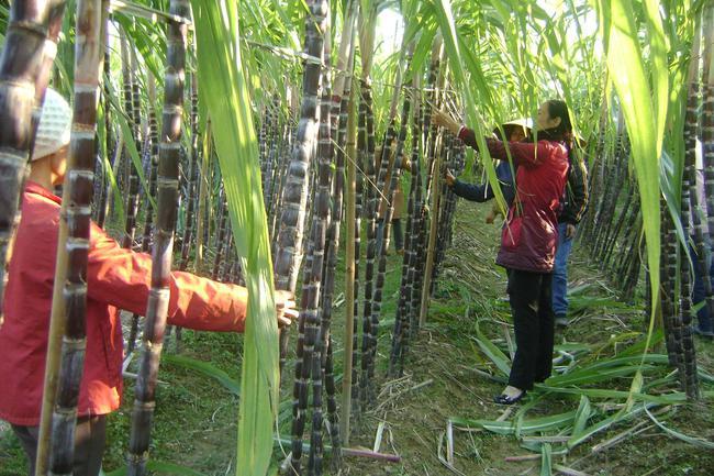 Doanh nghiệp trả nợ 30 tỷ đồng tiền mua mía của nông dân