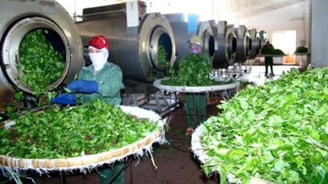 Chè có tồn dư thuốc bảo vệ thực vật - nguy cơ mất thị trường