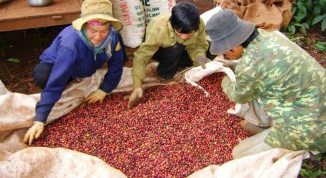 Chính sách thuế gây khó cho ngành cà phê
