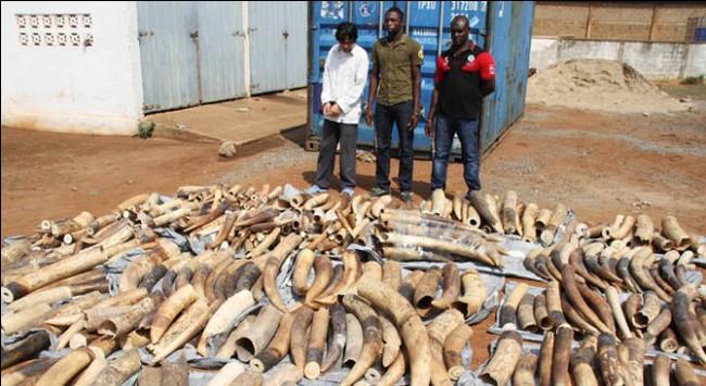 Togo bắt giữ 1,7 tấn ngà voi đang trên đường đến VN