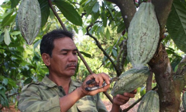 Cacao được mùa, giá tăng 30% so với cùng kỳ năm ngoái