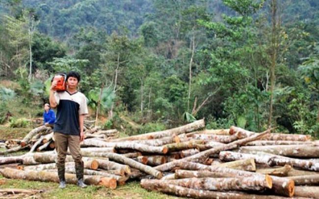 Sẽ dừng khai thác gỗ rừng trên toàn quốc
