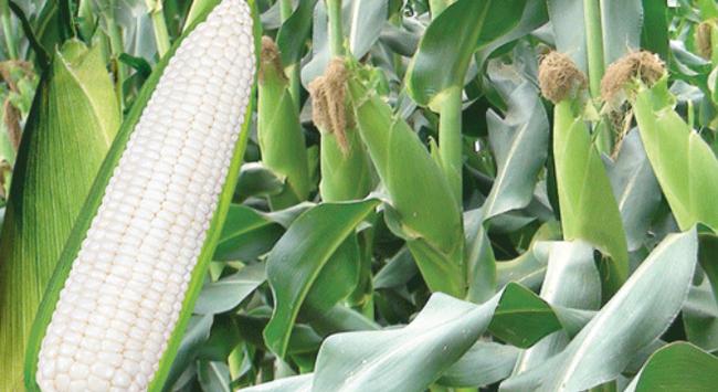 Quảng Nam sẽ bán toàn bộ vốn tại Giống nông lâm nghiệp Quảng Nam cho NSC