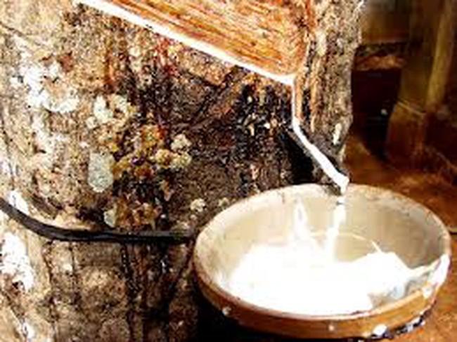 Việt Nam đứng thứ 3 thế giới về xuất khẩu cao su tự nhiên