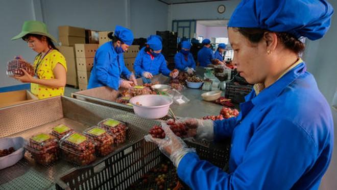 Ninh Thuận đẩy mạnh sản xuất nho an toàn