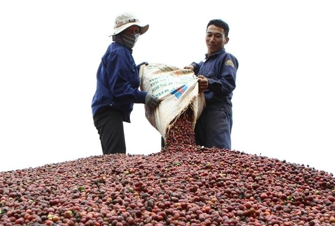 Xuất khẩu cà phê bứt phá ngoạn mục, thị trường thuận lợi