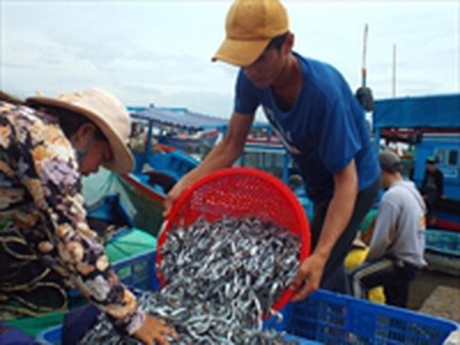 Cá cơm được mùa, được giá