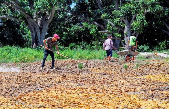 Người dân Khánh Hòa ồ ạt mua bán hạt xoài