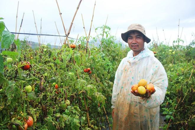 Nông dân Lâm Đồng nhổ bỏ hàng trăm ha cà chua vì dịch bệnh