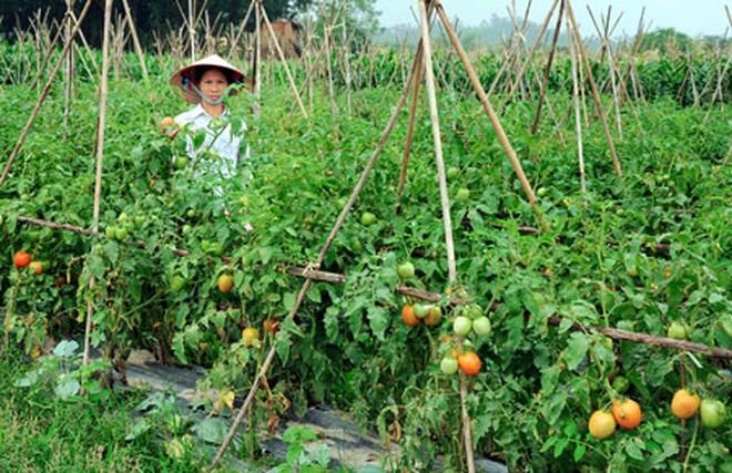 Giá cà chua tăng kỷ lục vì dịch bệnh hoành hành