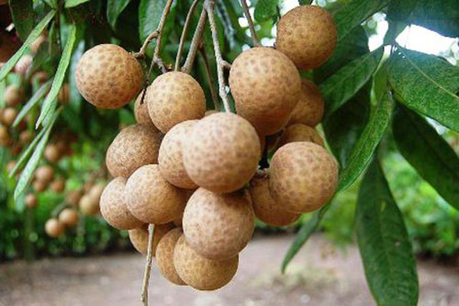 Trái nhãn tươi Việt Nam lần đầu tiên sang Malaysia