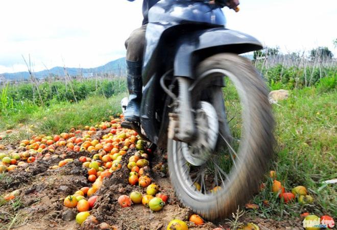 Cà chua bệnh, nông dân điêu đứng
