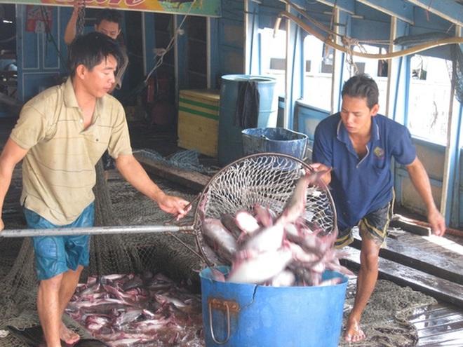 Giá cá tra bất ngờ tăng vọt, nông dân tiếc hùi hụi