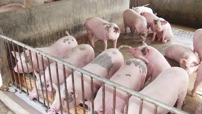 Phát hiện hormone tăng trưởng trong thức ăn chăn nuôi