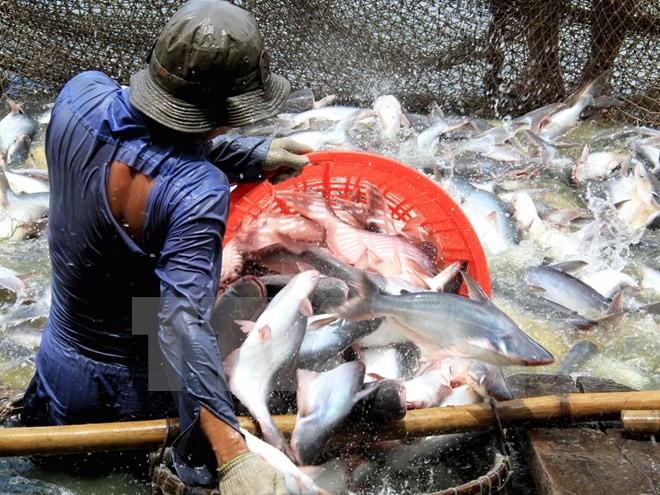Ngành cá tra chưa thoát khỏi khó khăn, ngư dân tiếp tục chịu lỗ