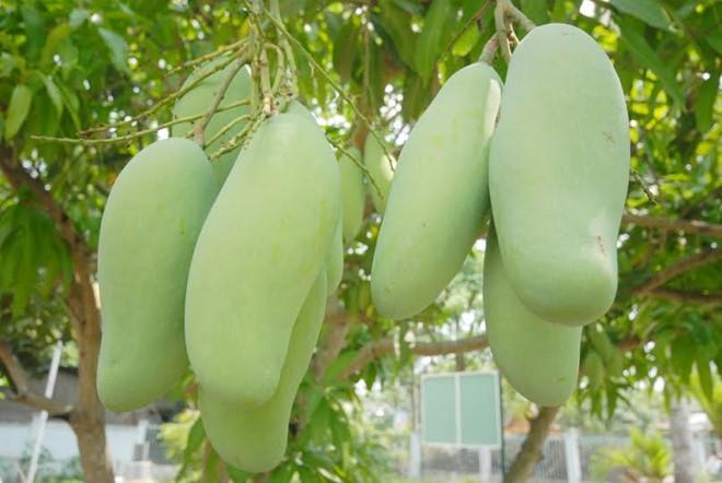 Dân miền Tây đua nhau trồng giống xoài Đài Loan