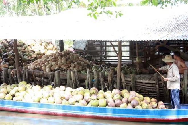 Giá dừa khô tăng cao