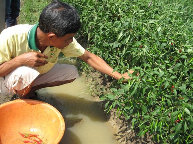 Giá ớt ở Tây Ninh giảm sâu