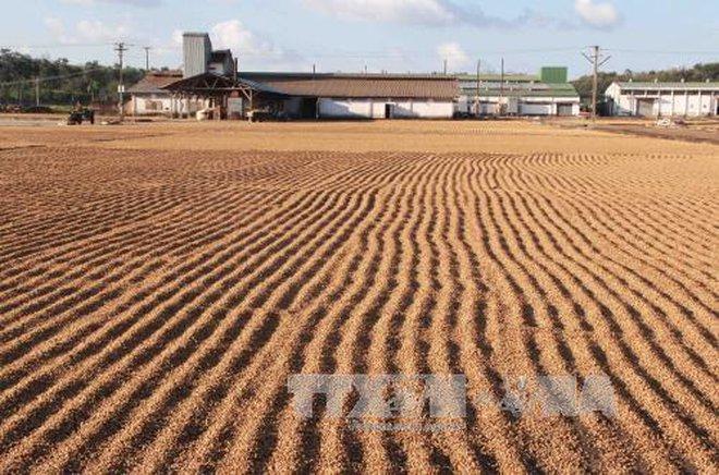 Quy hoạch hệ thống chế biến để nâng cao giá trị sản phẩm cà phê