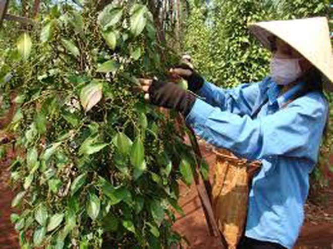 SPS Việt Nam tiếp tục phản đối về việc thay đổi dư lượng tối đa cho phép lên hạt tiêu