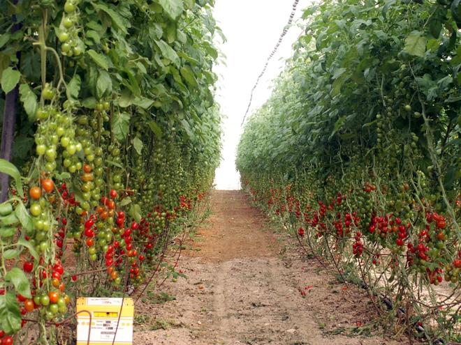 Nông nghiệp Israel: Phép màu trên hoang mạc