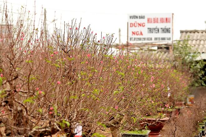 Nhật Tân: Tết đến sớm, nhiều vườn đào mất trắng