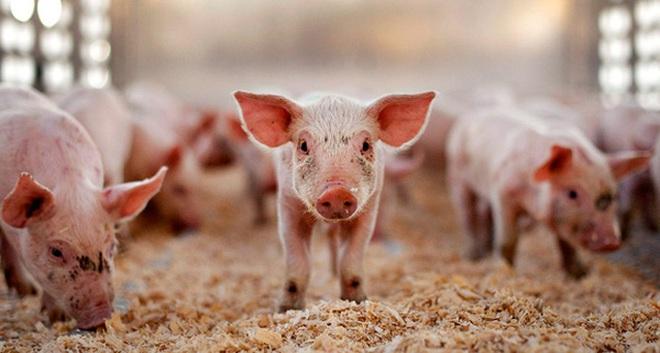Bảo hộ nông nghiệp nhìn từ chuyện 'giải cứu' thịt lợn ở Trung Quốc hay mía đường ở Mỹ