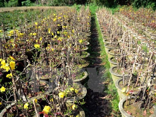 TP.HCM: Mưa trái mùa khiến người trồng mai điêu đứng