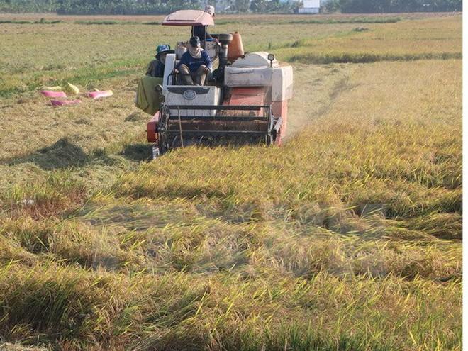 Giá lúa ở Đồng bằng sông Cửu Long tăng khá cao so với trước Tết