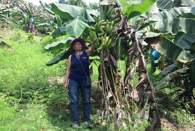 Giá chuối 1.000 đồng/kg, dân chán nản không muốn thu hoạch - Ảnh 2.