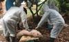 Dập tắt ổ dịch tả lợn châu Phi đầu tiên ở Đông Triều, Quảng Ninh