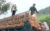 Vì sao Trung Quốc giảm nhập sắn Việt?