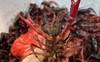 Tôm càng đỏ nguy hại 'đổ bộ' vào Việt Nam: Do chiến tranh thương mại Mỹ-Trung?