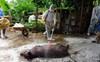 60 tỉnh, thành phố trên cả nước đã có ổ dịch tả lợn châu Phi