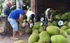 Giá mít tăng cao, nông dân Tiền Giang trồng ồ ạt, bất chấp khuyến cáo