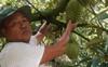Sầu riêng được giá, mỗi ha vườn sầu riêng cho lãi khoảng 1 tỷ đồng/năm