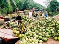 Năng suất dừa Bến Tre giảm 70%-80%