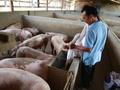 Nghịch lý giá thịt heo ở Lâm Đồng