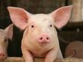 Giá thịt lợn lao dốc thê thảm, Dabaco báo lỗ 33 tỷ đồng trong quý 2/2017