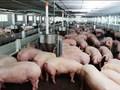 Công văn hỏa tốc đề nghị các tỉnh 'giải cứu' lợn