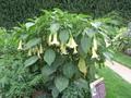 6 loại cây chứa độc tố thường được trồng làm cảnh