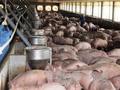 """Chiến dịch """"giải cứu"""" lợn: Bộ Công an đã tiêu thụ thịt vượt chỉ tiêu"""