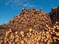 Các đại gia gỗ Việt sẽ giải bài toán 10 tỷ đô thế nào khi sản lượng gỗ nội không cao, còn chất lượng lại quá thấp?