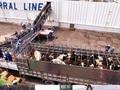 """Đằng sau chuyện """"nhập hộ khẩu"""" cho các cô bò sữa cao sản Mỹ về Việt Nam"""