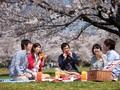 Hoa anh đào mang lại những gì cho kinh tế Nhật?