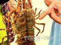 Trên 16.500 lồng nuôi tôm hùm Phú Yên chết với tỷ lệ cao