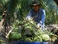 """Ảnh hưởng của thời tiết, dừa xiêm xanh tăng giá """"kỷ lục"""""""