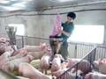 Đồng Nai vẫn còn tồn kho 280.000 con lợn đến kỳ xuất chuồng
