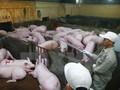 AVR kêu gọi doanh nghiệp hội viên gỡ khó cho ngành chăn nuôi