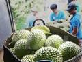 Giá sầu riêng đầu mùa tăng cao kỷ lục, các nhà vườn phấn khởi